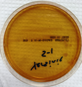 Non-lactose fermenting, flat colonies on MacConkey agar