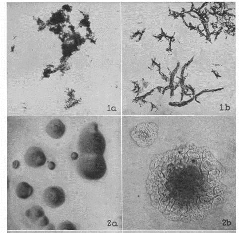 """Cording"" em isolados clínicos de Mycobacterium - Lablogatory 3"